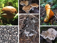 Fresh All Natural Edible Wild Mushrooms from the Pacific Northwest